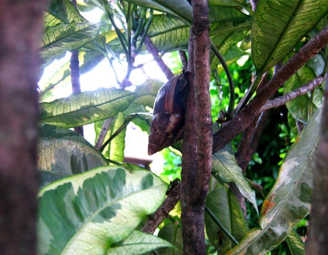 Caracol africano gigante se toma los jardines de cali se for Caracol de jardin de que se alimenta
