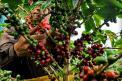 Informe exclusivo: tragedias detrás de la crisis del café en Colombia