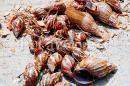 Alertan por proliferación de caracol africano e insectos en temporada de lluvias
