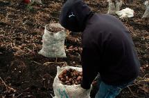 Minagricultura inicia campaña para aumentar el consumo de la papa