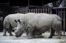 Muere uno de los cinco rinocerontes blancos del norte que había en el mundo