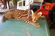 Investigan venta de un tigrillo a través de página de internet en Cali