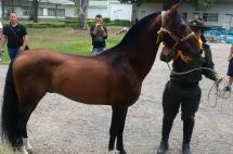 Recuperan caballo del 'Tino' Asprilla avaluado en más de $200 millones