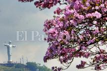 En imágenes: Guayacanes florecidos pintan a Cali de rosa