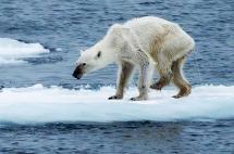 Impactante imagen de osa polar desnutrida evidencia efectos del calentamiento global