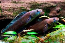 Descubren mono que estornuda y pez que 'camina' en el Himalaya