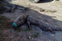 Mueren 124 cocodrilos en México por