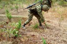 La Armada erradicó 80 mil matas de coca en Buenaventura y Chocó