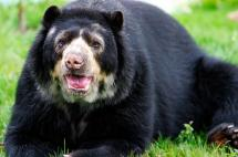 Otro oso de anteojos fue asesinado en el centro del país