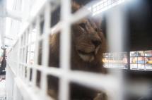 Del circo a la libertad: así va el operativo de traslado de 33 leones a Sudáfrica