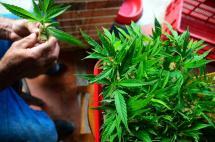 La experiencia de un anestesiólogo con la marihuana medicinal