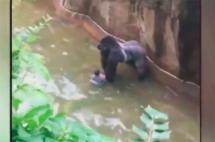 Matan a un gorila en zoológico de Estados Unidos para salvar a un niño