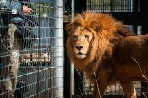 Final feliz: leones rescatados en Colombia y Perú, ya viven en Sudáfrica