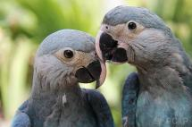 Avistan en Brasil un loro azul del que solo quedan 130 ejemplares en cautiverio