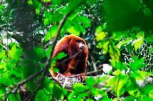 El caso del mono aullador con el que la Corte prohíbe la tenencia de animales silvestres