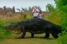Graban gigantesco cocodrilo cruzando un sendero en la Florida