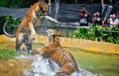El espectacular 'chapuzón' de los tres tigres cachorros del Zoológico de Cali