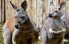En video: en el Zoológico de Cali ya hay un pedacito de Australia, conózcalo
