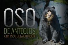 Gráfico: las amenazas que acosan al oso de anteojos en Colombia