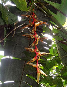 La Heliconia griggsiana es una planta  nativa de las selvas montañosas de Colombia.<br>