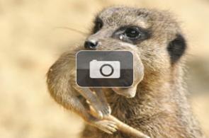 Nacen suricatas en el zoológico de Cali