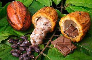 Se abre paso el licor de cacao hecho en Palmira