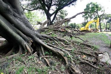 Invertirán 260 millones en poda de árboles de Cali