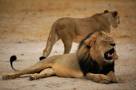 Dentista que mató al león Cecil pagó ya una condena por caza furtiva en EE.UU.