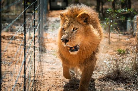 Liberados en Sudáfrica los 33 leones rescatados de circos sudamericanos
