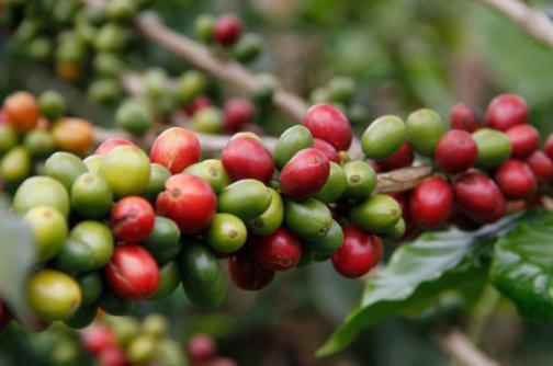Producción de café creció 31% en junio, al llegar a 1,2 millones de sacos