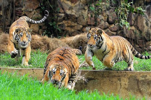 Los tigres trillizos del Zoológico de Cali celebran su primer año de vida