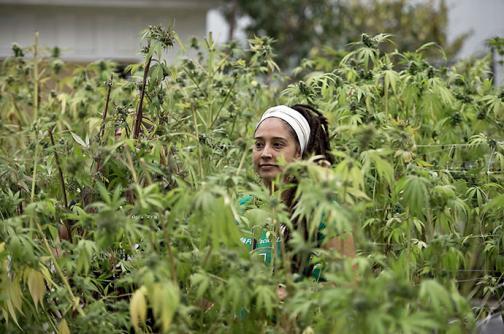 Más de 50% de apoyo a legalización de marihuana en América Latina, según estudio
