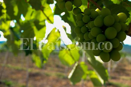 Yumbo será productor de uva sin semilla
