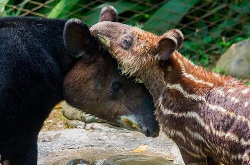 Tapir rescatado en Nariño encontró madre adoptiva en el Zoológico de Cali