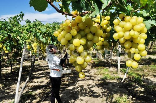 Las historias detrás de la tradición de cultivar uva en La Unión, norte del Valle