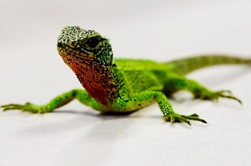 Descubren 'dragones' miniatura en los Andes peruanos y ecuatorianos