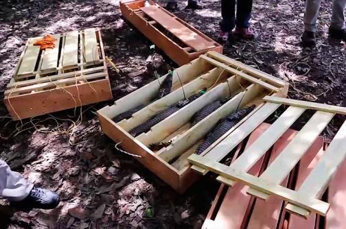 En video: caimanes de la especie más amenazada en Colombia fueron liberados