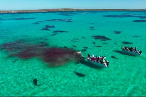 Video: drone graba a un grupo de tiburones comiéndose una ballena en Australia