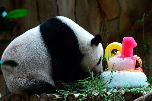En video: pandas Liang Liang y Nuan Nuan celebran cumpleaños en zoológico de Kuala Lumpur