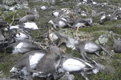 En video: 323 renos murieron en Noruega tras ser alcanzados por un rayo