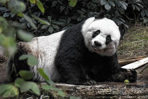 En video: muere en Honk Kong la panda gigante más vieja en cautiverio