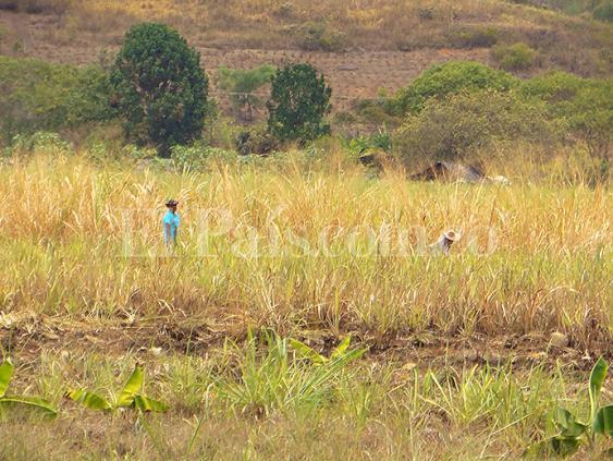 En la imagen se puede ver la cantidad de caña que los indígenas han destruido en la finca García Arriba, en Corinto, y que entre sus restos empiezan a florecer los cultivos de plátano, fríjol y maíz.<br>