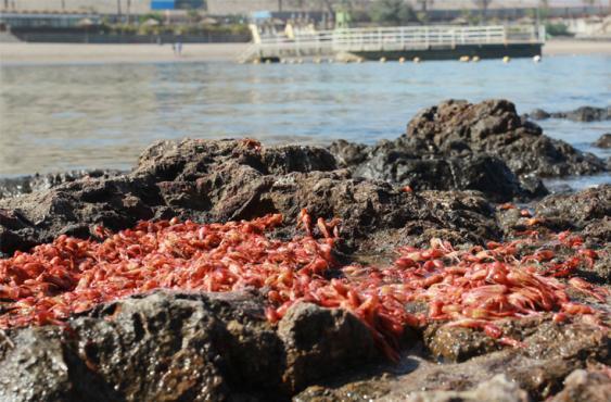 Miles de langostinos pequeños quedaron atrapados en la playa La Lisera de la ciudad de Arica, en el norte de Chile, sumándose a la serie de varazones de especies marinas ocurridos recientemente en...<br>Elpaís.com.co l AFP