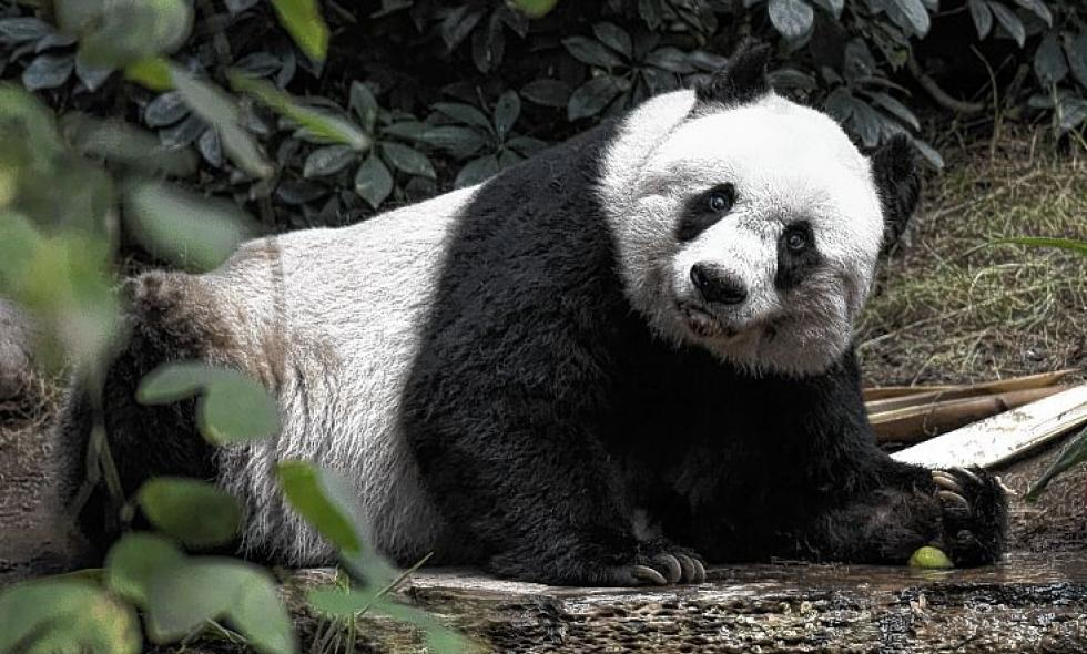 En video: muere en Honk Kong la panda gigante más vieja en cautiverio